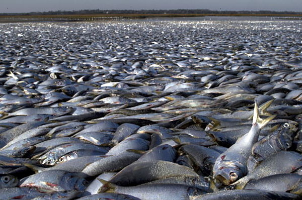 red tide causes big fish kill in the gulf